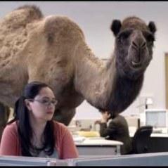 geico-camel